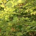 greentree.jpg